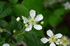 Fine bianca della fioritura della bacca nera su immagini stock