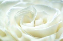 Fine bianca della Rosa in su Immagine Stock Libera da Diritti