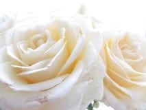 Fine bianca della Rosa in su Fotografie Stock Libere da Diritti