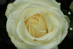 Fine bianca della Rosa in su Fotografia Stock