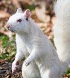 Fine bianca dello scoiattolo vicino Fotografia Stock