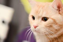 Fine bianca rossa del gatto di soriano su Immagini Stock