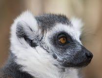 Fine in bianco e nero del lemur ring-tailed sul profilo fotografia stock