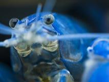 Fine blu australiana del gambero di scampanio su Fotografia Stock