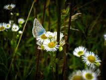 Fine blue butterfly with transparent wings in a dark spots. A butterfly sits on chamomile flowers. Beautiful countryside stock photography