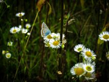 Fine blue butterfly with transparent wings in a dark spots. A butterfly sits on chamomile flowers. Beautiful countryside royalty free stock photography
