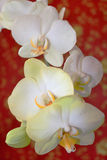 Fine branch of the white orchid on the red Royalty Free Stock Photos