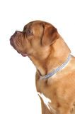 Fine BullMastiff Standing Royalty Free Stock Photography