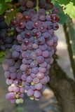 Fine bunch of blue grapes Royalty Free Stock Images