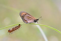 Fine butterfly & larva Stock Images