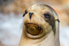 Fine californiana del leone marino sul ritratto Fotografia Stock Libera da Diritti