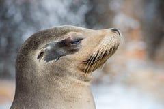 Fine californiana del leone marino sul ritratto Fotografie Stock Libere da Diritti