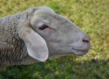 Fine capa delle pecore su dell'animale da allevamento fotografia stock libera da diritti