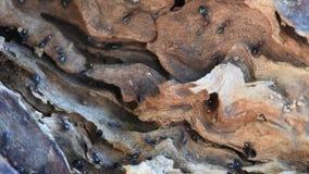 Fine capa di Myrmecocystus del honeypot della formica di rosso sulla macro archivi video