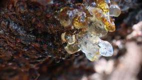 Fine capa di Myrmecocystus del honeypot della formica di rosso sulla macro video d archivio