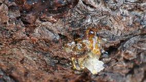 Fine capa di Myrmecocystus del honeypot della formica di rosso sulla macro stock footage