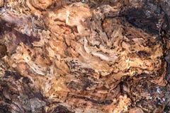 Fine capa di Myrmecocystus del honeypot della formica di rosso sulla macro Fotografia Stock Libera da Diritti