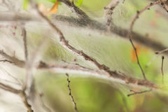 Fine cobweb on twigs and branches of a plant close Royalty Free Stock Photo
