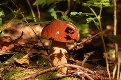 Fine commestibile saporita del boletus dei funghi su Immagini Stock Libere da Diritti