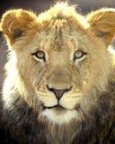 Fine completa del blocco per grafici del leone africano sul grande gatto Fotografie Stock Libere da Diritti