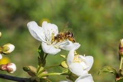 Fine d'impollinazione del fiore della ciliegia dell'ape bella su fotografia stock libera da diritti