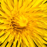 Fine And Dandy. A close-up of the details of a yellow dandelion flower royalty free stock photos