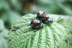 Fine degli scarabei giapponesi in su e personale Immagini Stock Libere da Diritti
