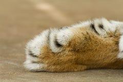 Fine dei capelli dei piedi della tigre in su Fotografie Stock Libere da Diritti