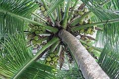 Fine del baldacchino di cocco su Immagine Stock Libera da Diritti