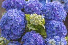Fine del blu di Hortensia fino alla fioritura Fotografie Stock Libere da Diritti