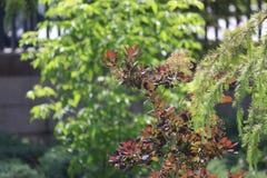 Fine del brunch dell'albero di abete su Fuoco poco profondo Fine lanuginosa del brunch dell'albero di abete su Concetto della car immagini stock libere da diritti