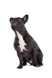 Fine del bulldog francese in su Fotografia Stock Libera da Diritti