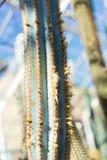 Fine del cactus di pachycladus di Pilosocereus su alla luce del sole Immagini Stock Libere da Diritti