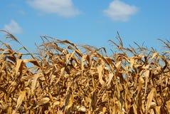 Fine del campo di cereale in su Immagini Stock Libere da Diritti