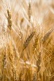 Fine del campo di frumento in su fotografia stock