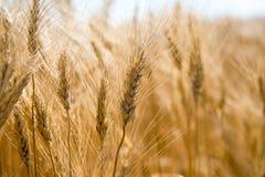 Fine del campo di frumento in su immagini stock libere da diritti
