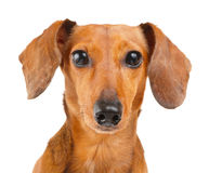 Fine del cane del bassotto tedesco su Fotografie Stock
