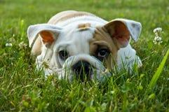 Fine del cane del cucciolo in su Fotografia Stock Libera da Diritti