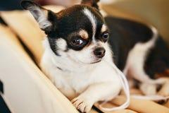 Fine del cane della chihuahua sul ritratto Fotografia Stock