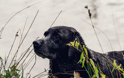 Fine del cane nero su nel lago Immagini Stock Libere da Diritti
