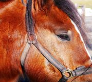 Fine del cavallo dell'azienda agricola su Fotografia Stock Libera da Diritti