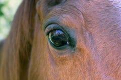 Fine del cavallo di baia in su fotografie stock libere da diritti