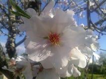 Fine del centro del fiore del mandorlo su fotografie stock