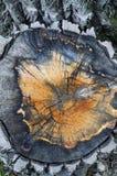 Fine del ceppo di albero dell'Aspen in su Immagine Stock Libera da Diritti