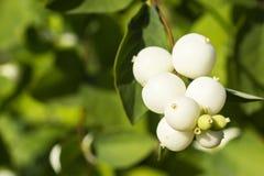 Fine del cespuglio dello Snowberry Fotografia Stock