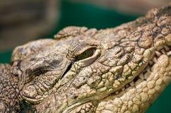 Fine del coccodrillo americano in su Immagine Stock