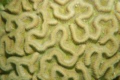 Fine del corallo di cervello di Boulder sui natans di Colpophyllia Immagine Stock