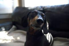 Fine del cucciolo del cane del weiner del bassotto tedesco su su un estratto generale beige Fotografia Stock Libera da Diritti