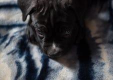 Fine del cucciolo della razza di Cane Corso su Immagini Stock Libere da Diritti