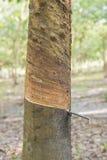Fine del cuneo dell'albero di gomma su Fotografia Stock